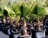 Desert Palm, California Washingtonia Palm - Suppliers Of Palms ...