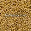 Barley Grains for sale