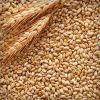 Barley Seeds, Barley Malt grain
