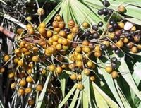 Where to sell saw palmetto berries