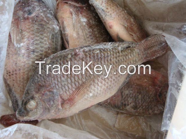 Quality Seafood Product Frozen Black Tilapia Fish