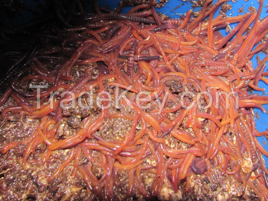 Red Wiggler Compost Fishing Worm