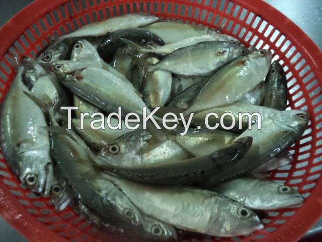 SHORT BODY MACKEREL WHOLE ROUND