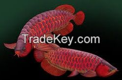 Super red arowana fish for sale of all Sizes