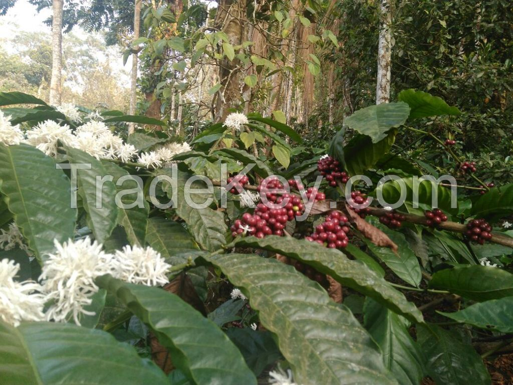 Coffee beans robusta and arabica