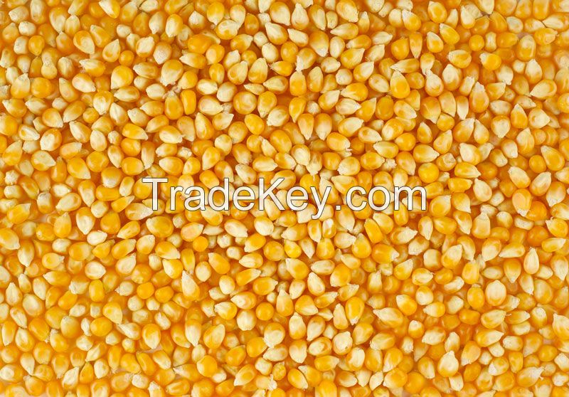 Yellow Corn, White Corn, Maize, Dried Corn, Sweet Corn