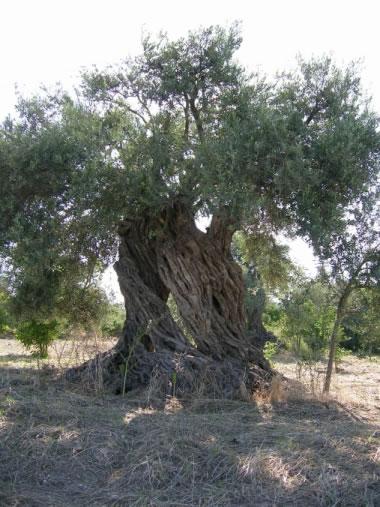 olives oil suppliers,olives oil exporters,olives oil manufacturers,extra virgin olives oil traders,spanish olive oil,