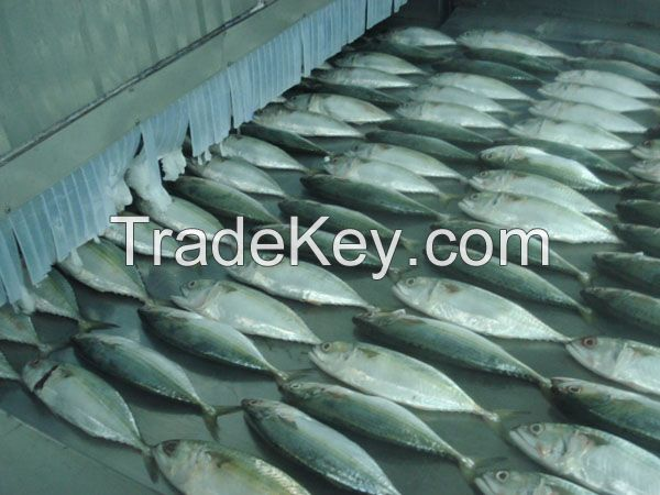 FROZEN INDIAN MACKEREL WHOLE ROUND