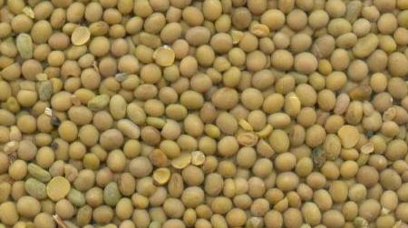 Transgenic soy beans approved in Brazil