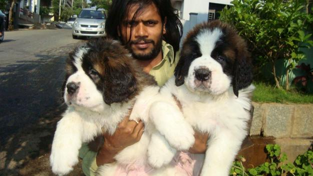 saint bernard puppies for sale in mumbai   maharashtra     9320185151 by labrador puppies for