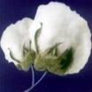 Indian shankar-6 Raw cotton