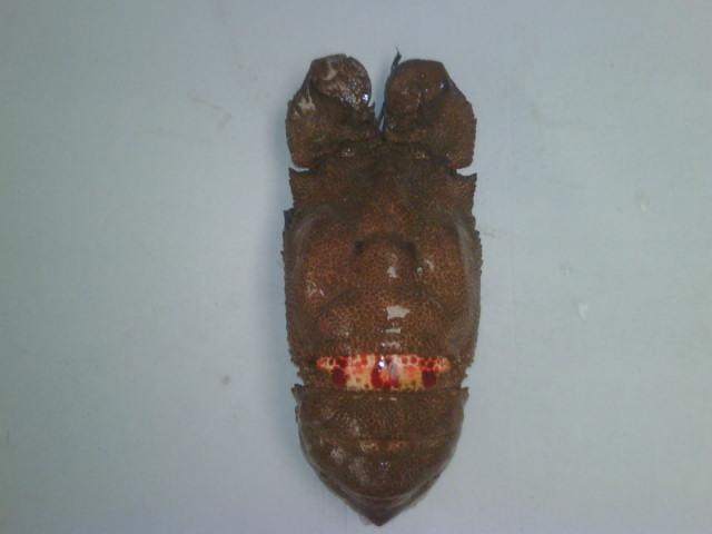 Slipper lobster, cigale du mer, scyllarides latus