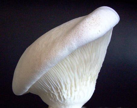 Bailing Mushroom and King Oyster Mushroom By DASHUO MUSHROOM CO., LTD, China454 x 359 jpeg 116kB
