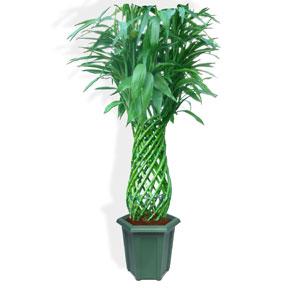 Luckey Bamboo