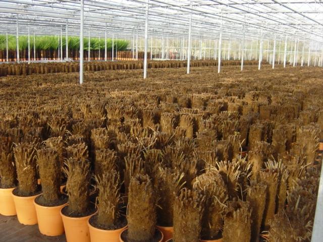 Dicksonia Cyathea Treeferns