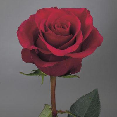 how to keep cut roses fresh
