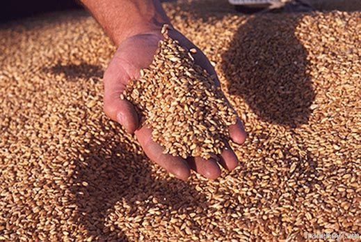 Wheat | Wheat exporter | Wheat distributor | Wheat wholesaler | Wheat supplier | Wheat importer |  Wheat |Wheat for sale | long grain Wheat exporter | buy Wheat online | Wheat for sale |  Wheat exporter | Wheat wholesaler | long grain Wheat buyer |  Wheat