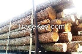 Pine Logs From Ukraine
