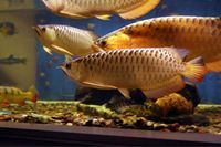 Red Tail Golden(RTG) Arowana Fish and Other Fishes for Sale