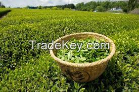 High  quality Fresh Green tea