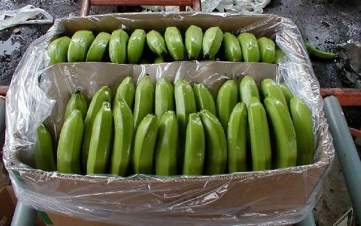 Fresh Fruits Green Cavendish Banana