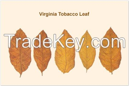 Dried Virginia Burley Tobacco Leaves