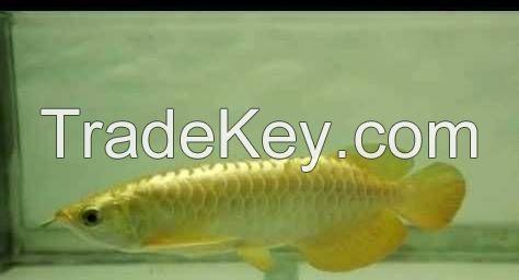Tropical Arowana Fish Available