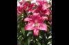 Fresh Lily Cut Flowers...