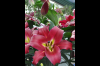 Fresh Lily Cut Flowers Supplier