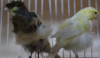Yorkshire canary birds,Lancashire Canary