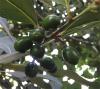 Laurel Oil/berries/ale...