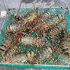 Live Ornate/Spiny OR Tiger/Flower Lobsters