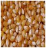 Maize | Maize Exporter | Corn Grain Seller | Maize Buyer | Bulk Maize Grain Importer | Corn bean Buyer | Corn bean Wholesaler | Corn Grain Manufacturer | Best Quality Corn Grain | Cheap Maize Supplier | Low Price Corn | Yellow Corn | White Cron | Baby Mai