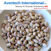 Cranberry Beans, Canada #1