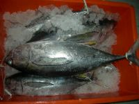 Yellowfin Tuna  (thunnus Albacares):