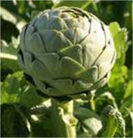Factory Supply Good Price Artichoke Extract
