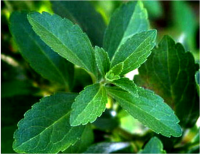 Organic Stevia Extract Powder in Bulk