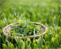 Natural Green tea extract�Tea polyphenol, EGCG, Catechins, Caffeine
