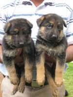 GERMAN SHEPHERD PUPPIES 4 SALE IN MUMBAI ( MAHARASHTRA ) @ 9320185151 ...