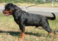 ROTTWEILER PUPPIES FOR SALE IN MUMBAI ( MAHARASHTRA ) @ 9320185151 By ...