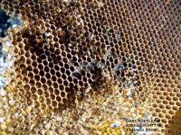 Pure Ziziphus Honey