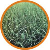 Pasture Seeds For Livestock Feeding