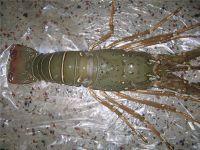 Lobster Live