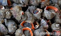 Fresh Sea Snails From Black Sea (rapana)