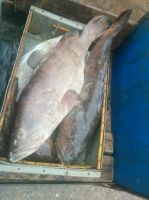 Fresh Grouper / Fresh Harmour / Fresh Spotted Grouper / Fresh Giant Grouper