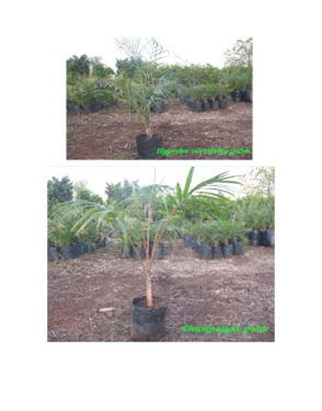 Palm Tree   Live Plant   Indoor Plant   Out Door Plant