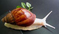 화장품, 100% 물 Souble 순수한 동물성 단백질을 위한 자연적인 달팽이 추출물