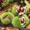 Органический сладостный свежий каштан--самый лучший вид китайских каштанов