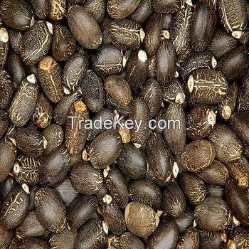 Jatropha Seeds Tree Species Natural Jatropha Best Quality Dried Jatropha Seeds