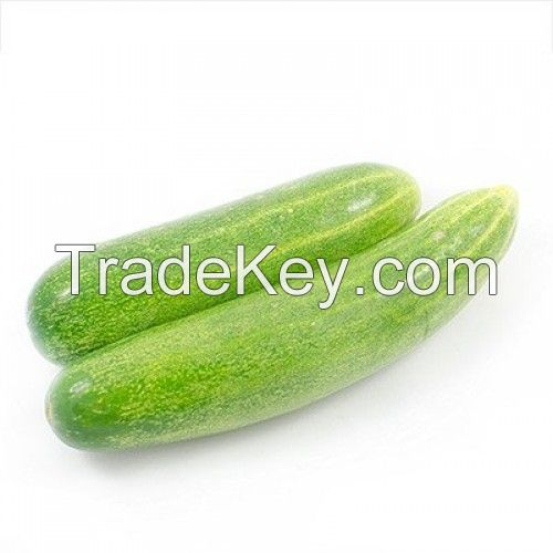 Premium Quality Fresh Cucumber With Competitive Price